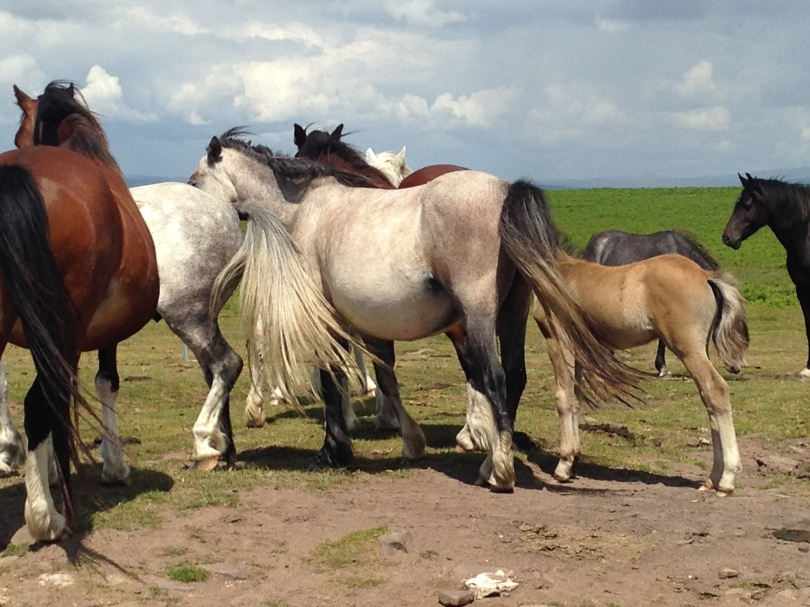 Wild Welsh Horses on the Gower